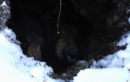 Hibernating bears found in an active den beside an active seismic line.